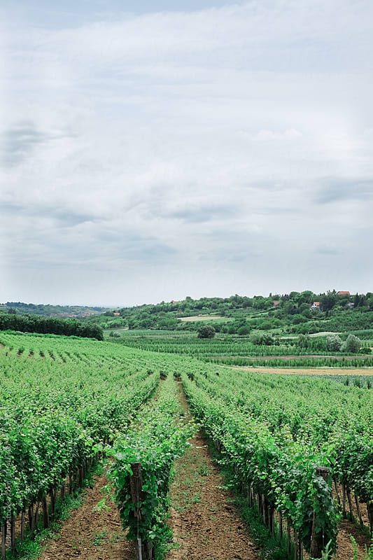 Beautiful Vineyard in Serbia by Mosuno for Stocksy United