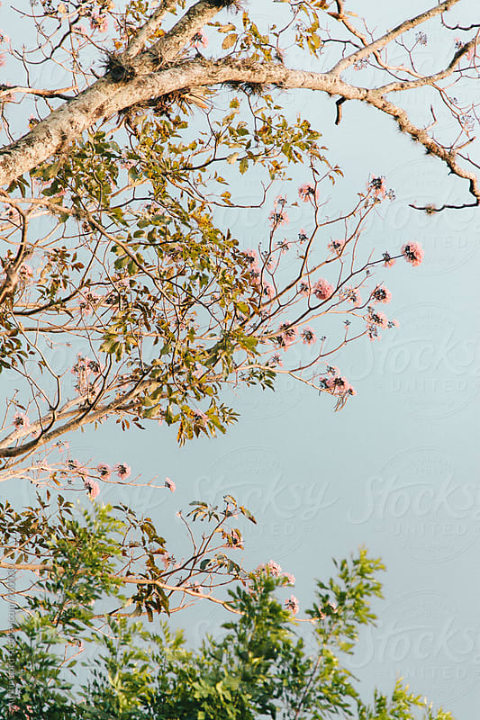 Tree with Pink Flowers by Austin Lord for Stocksy United