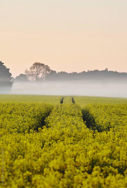 Track through fog covered rapeseed field at sunrise. Norfolk, UK. by Liam Grant for Stocksy United