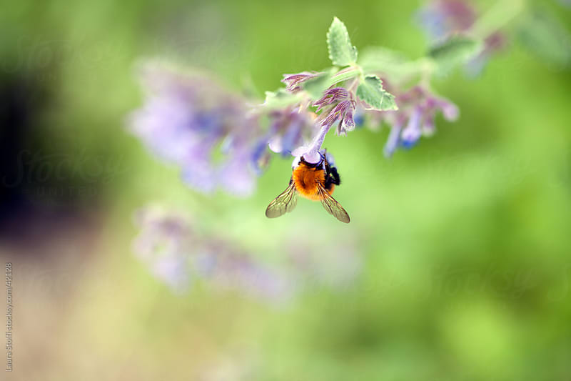 Bumblebee pollinating Echium flower  by Laura Stolfi for Stocksy United