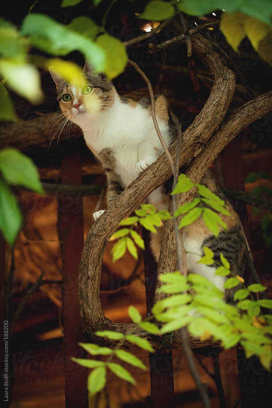 Cat perching on wisteria branch by Laura Stolfi for Stocksy United