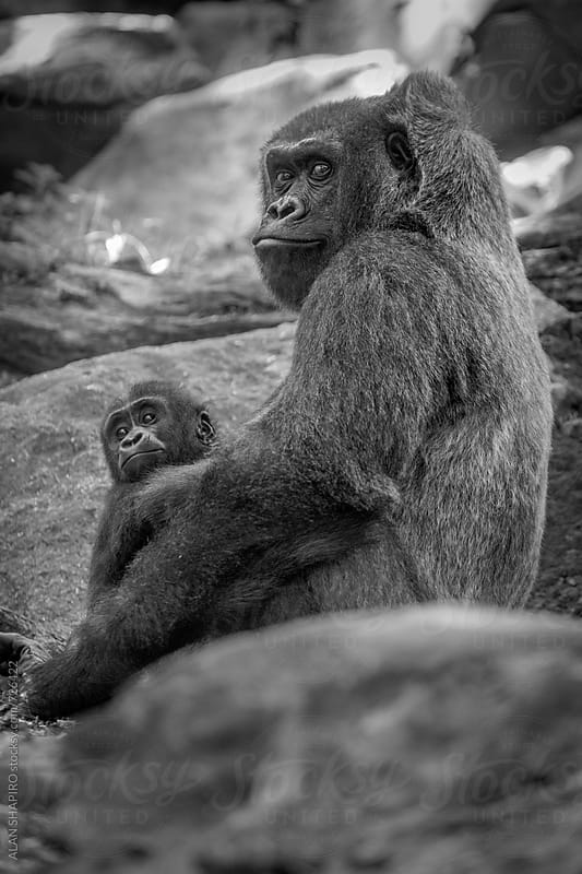 Lowland gorilla mother and child by ALAN SHAPIRO for Stocksy United