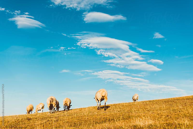 sheeps walking in the field by Javier Pardina for Stocksy United
