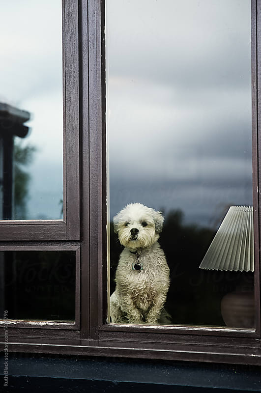 Lhasa apso at the window by Ruth Black for Stocksy United