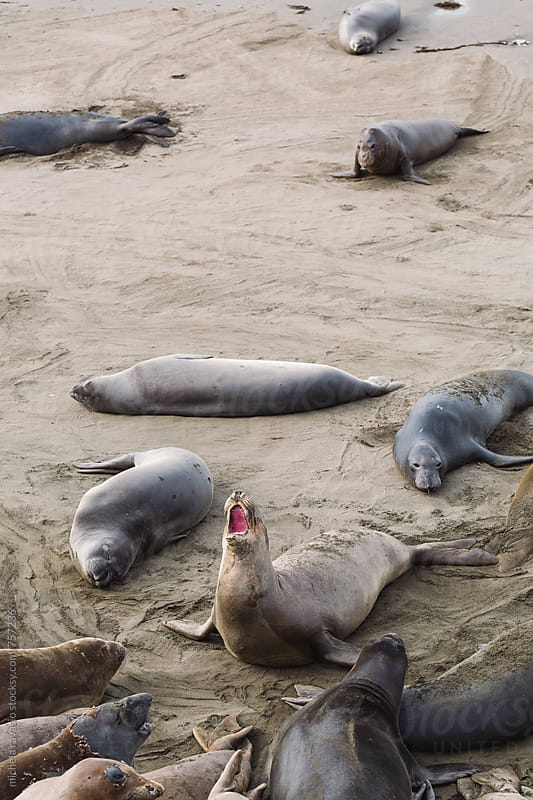 Sea lions beached on the shore by michela ravasio for Stocksy United