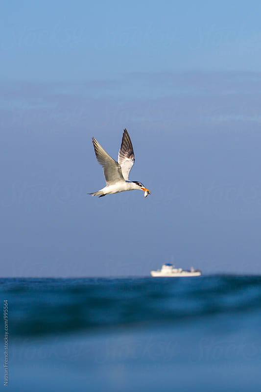A tern with lunch  by Nathan French for Stocksy United