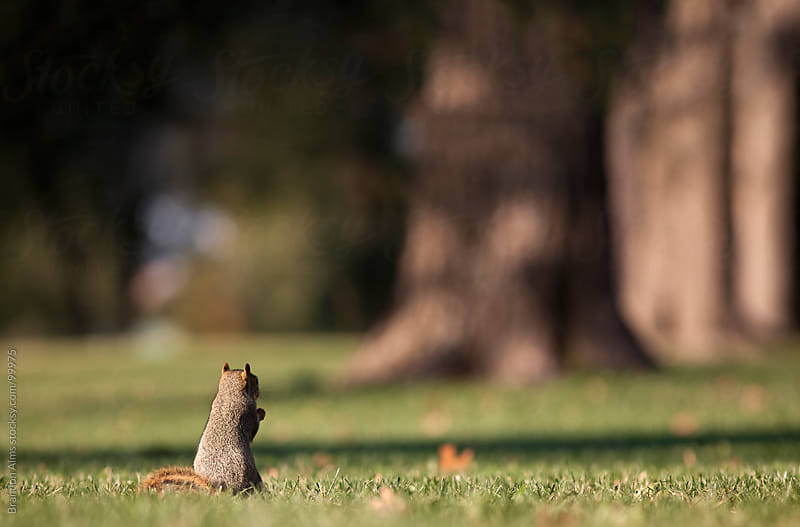 Eastern Fox Squirrel Standing and Facing the Woods by Brandon Alms for Stocksy United