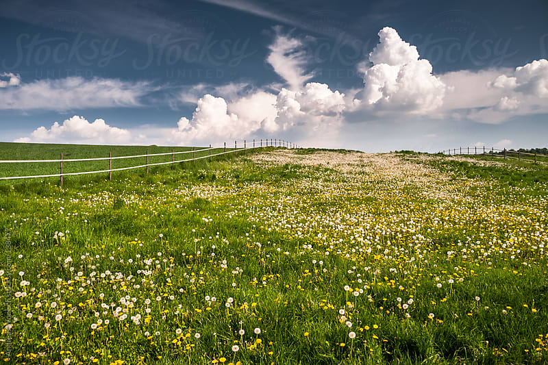 Fields of Grass and Dandelions in Springtime by Andreas Wonisch for Stocksy United
