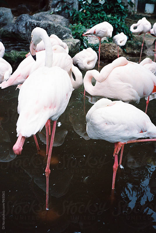 Group of flamingos in the zoo by Dina Lun for Stocksy United
