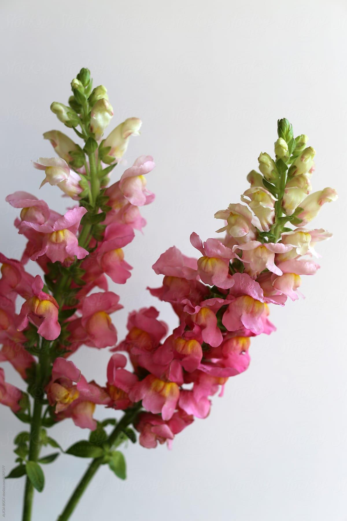 Two Pink Snapdragon Flowers In Full Bloom Stocksy United