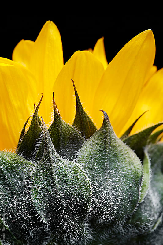 A sunflower in closeup by James Ross for Stocksy United