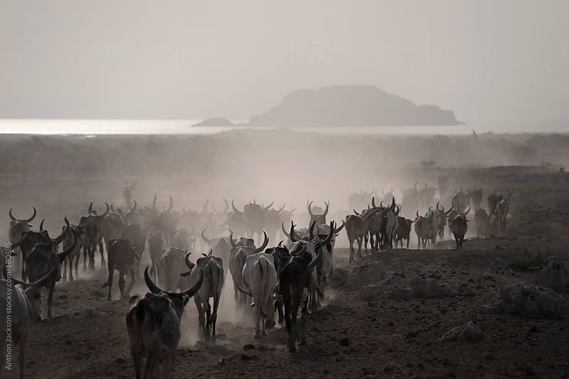 Cattle Drive in the Danakil by Anthon Jackson for Stocksy United