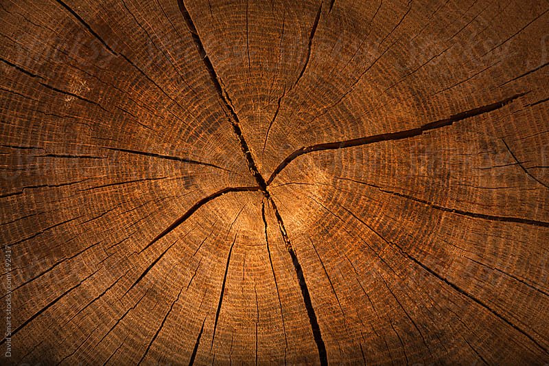 Weathered tree trunk in early morning light by David Smart for Stocksy United