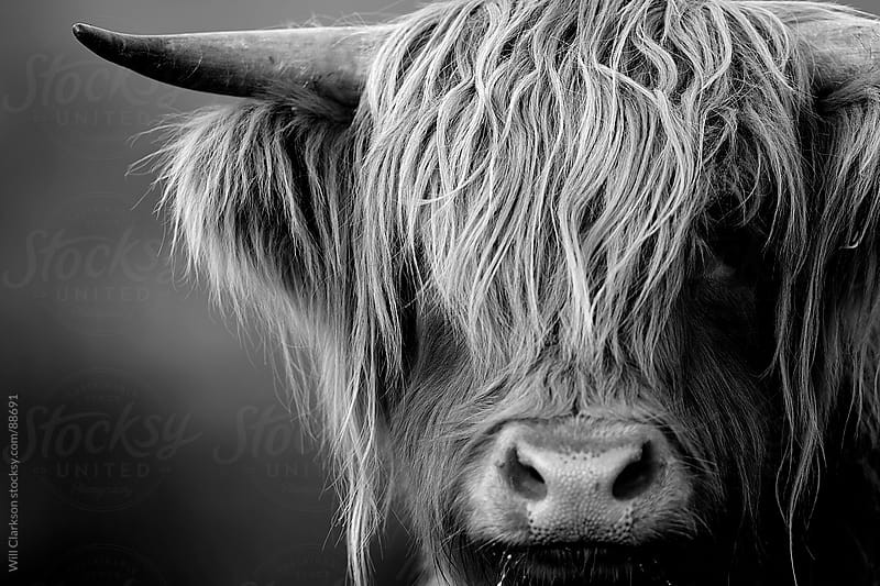 Black and white portrait of a highland cow looking at the camera by Will Clarkson for Stocksy United