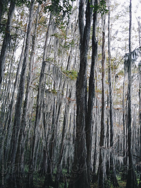 Spooky forest with Spanish moss hanging from cypress trees by Jeremy Pawlowski for Stocksy United