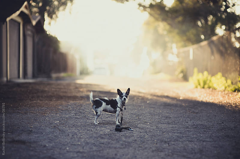 Small black and white terrier dog alone in backlit alley with gravel by Rachel Bellinsky for Stocksy United