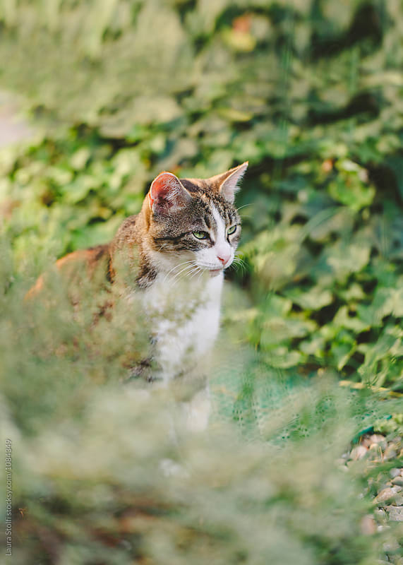 Calico cat sits close to aromatic herbs in summer garden by Laura Stolfi for Stocksy United