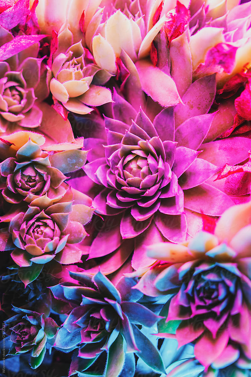 Vibrant Colorful Succulent Plants By Wizemark Stocksy United