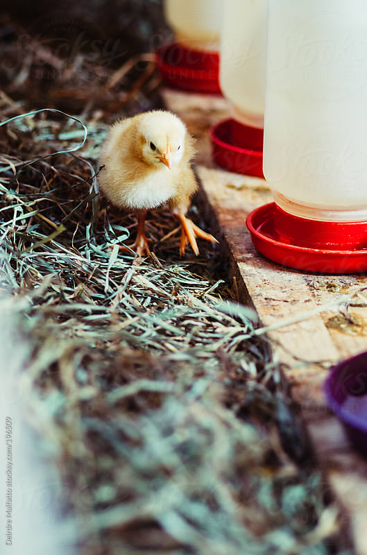 baby chicks walks by a row of waterers by Deirdre Malfatto for Stocksy United
