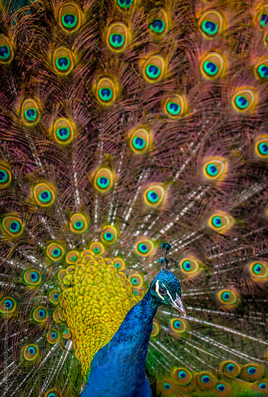 Peacock by alan shapiro for Stocksy United