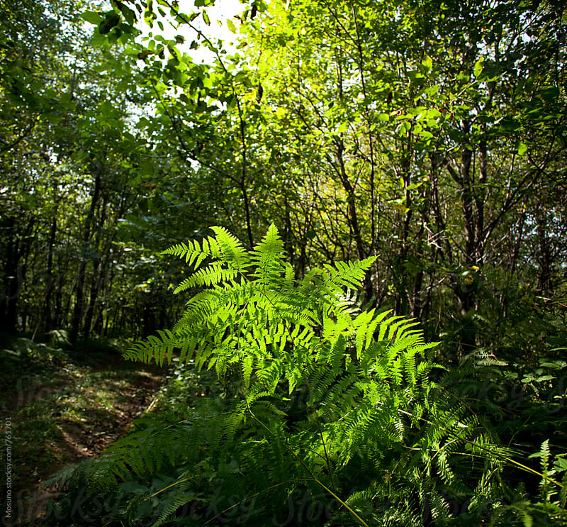 Fern Leaves in the Forest by Mosuno for Stocksy United