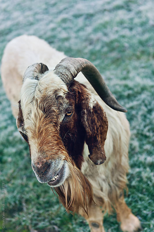 life on the farm with old billy goat gruff by Gillian Vann for Stocksy United