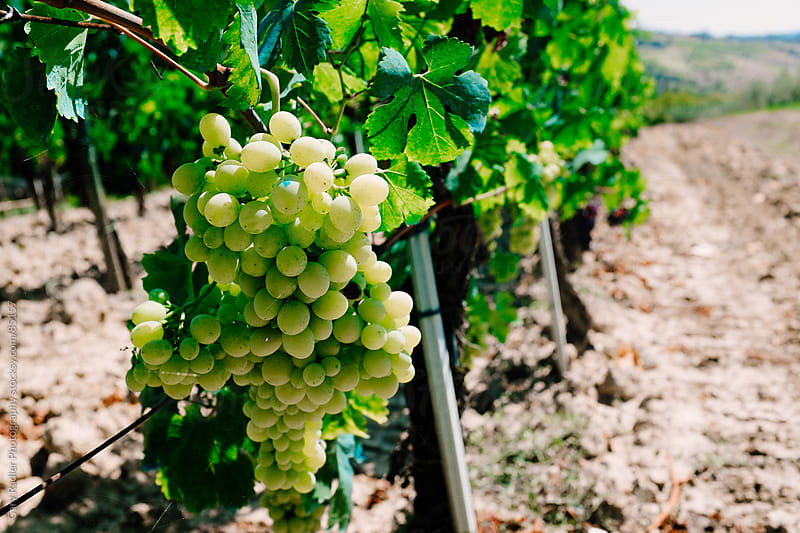 Green Tuscany Grapes by Gary Radler Photography for Stocksy United