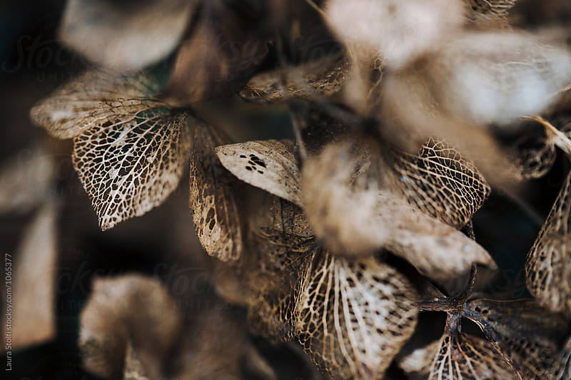 Brownish petals of rotting hydrangea flowers by Laura Stolfi for Stocksy United
