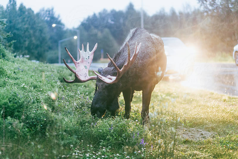 Moose Chillin by Jovell Rennie for Stocksy United
