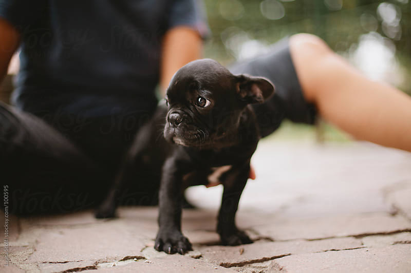 French bulldog puppy stands in garden in front of woman and looks away with perplexed expression by Laura Stolfi for Stocksy United