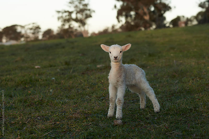 Lamb In A Field by Adrian Young for Stocksy United