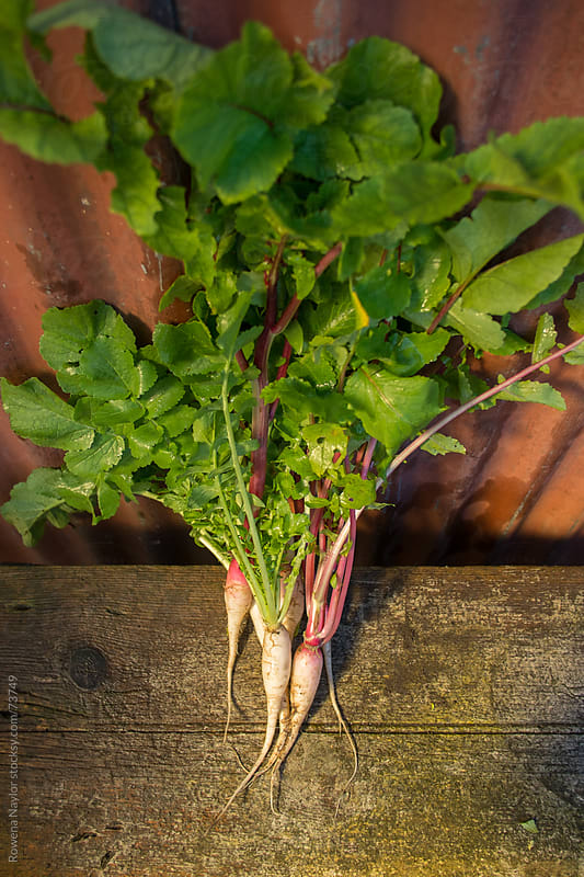 Organic Heirloom Salad Radishes by Rowena Naylor for Stocksy United