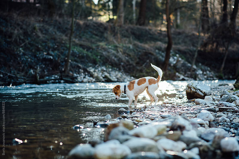 Dog curiously standing by the river bank by Boris Jovanovic for Stocksy United