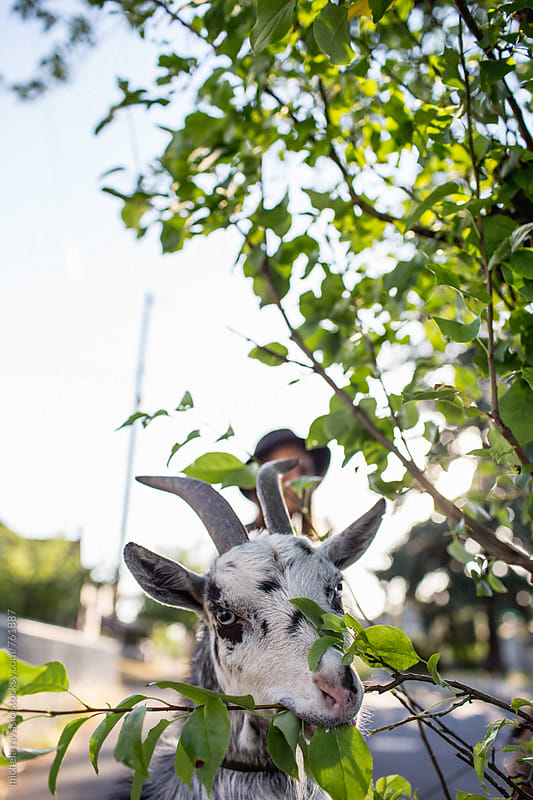 Goat eats a plant on the sidewalk by michela ravasio for Stocksy United