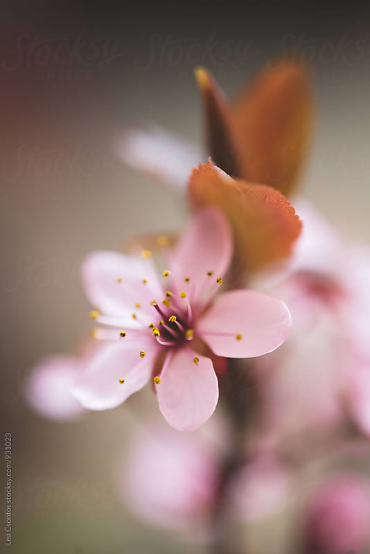 Closeup of a wild cherry flower by Lea Csontos for Stocksy United