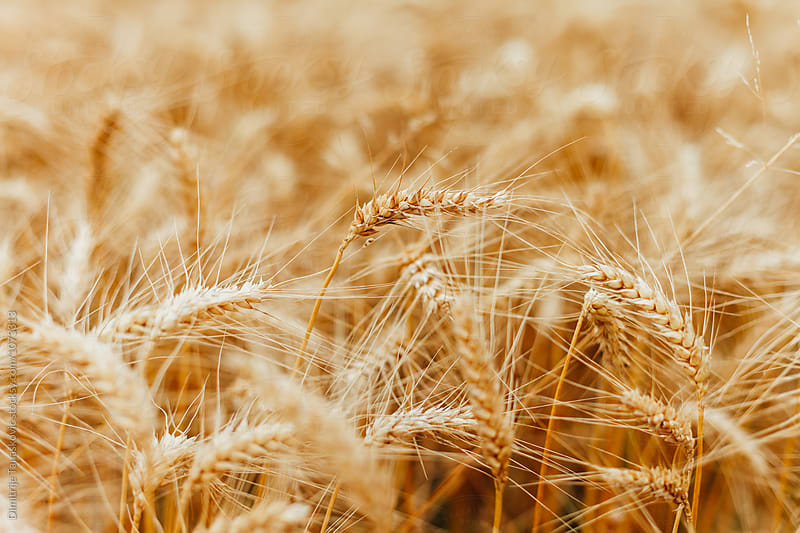 Wheat field by Dimitrije Tanaskovic for Stocksy United