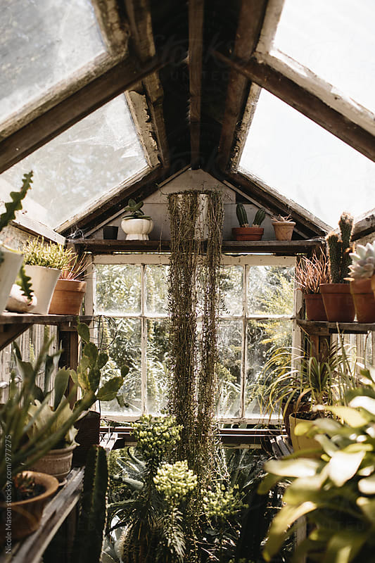 plants in light filled greenhouse by Nicole Mason for Stocksy United
