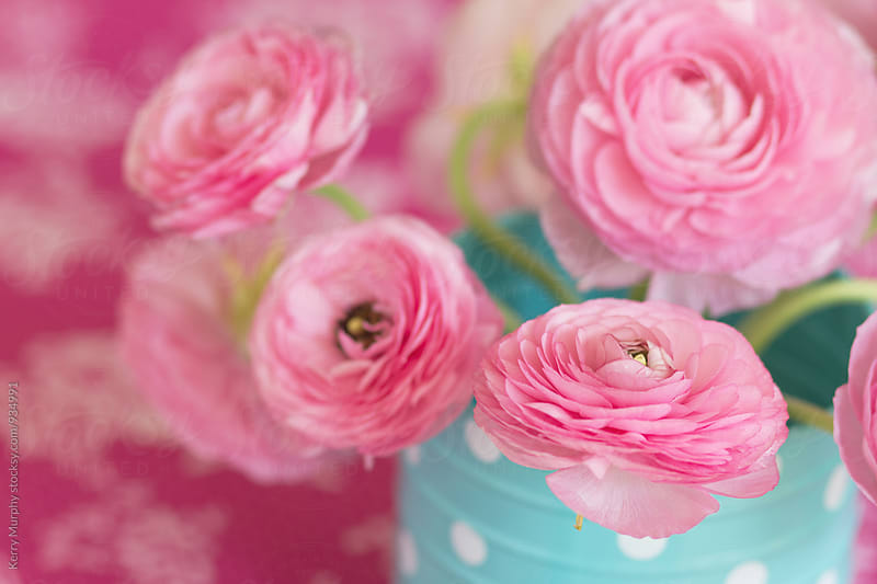 Pink ranunculus flower in blue watering can by Kerry Murphy for Stocksy United