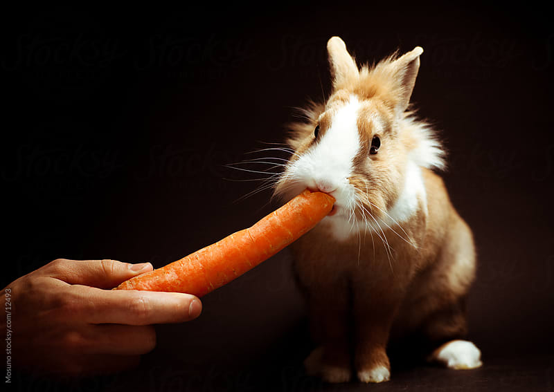 Cute Rabbit Eating Carrot by Mosuno for Stocksy United