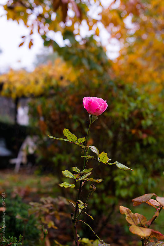 a rose in a garden during fall  by Laura Adani for Stocksy United