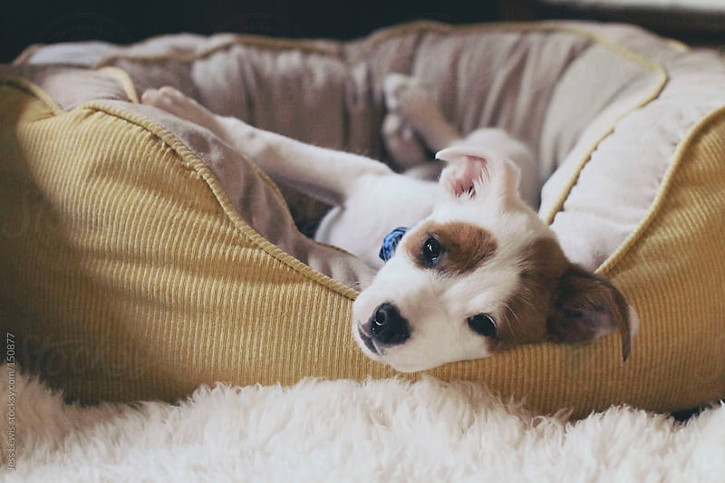 cute puppy in a bed by Jess Lewis for Stocksy United