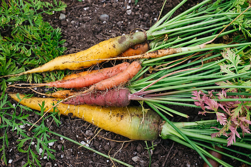 variety of fresh carrot vegetables on the garden ground by Jesse Morrow for Stocksy United