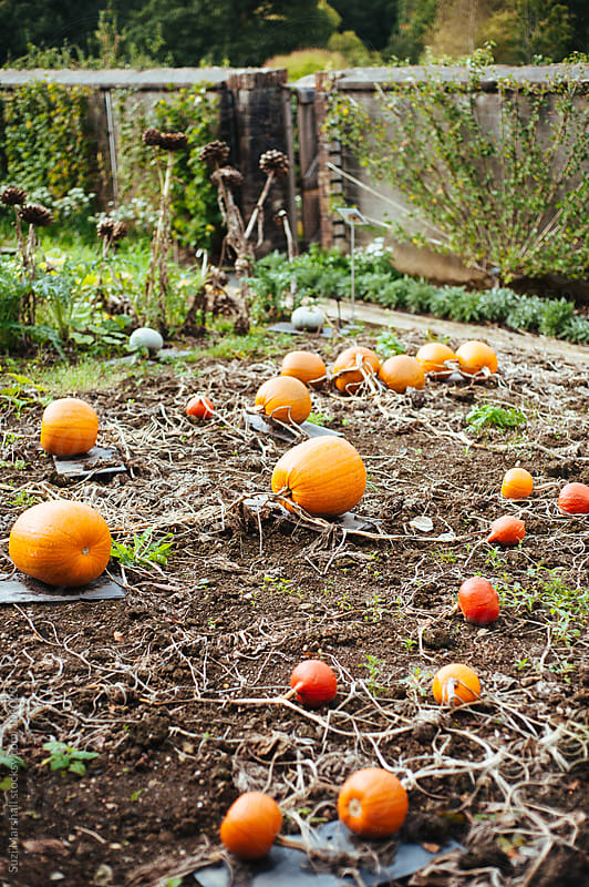 Pumpkins growing on soil in a garden by Suzi Marshall for Stocksy United