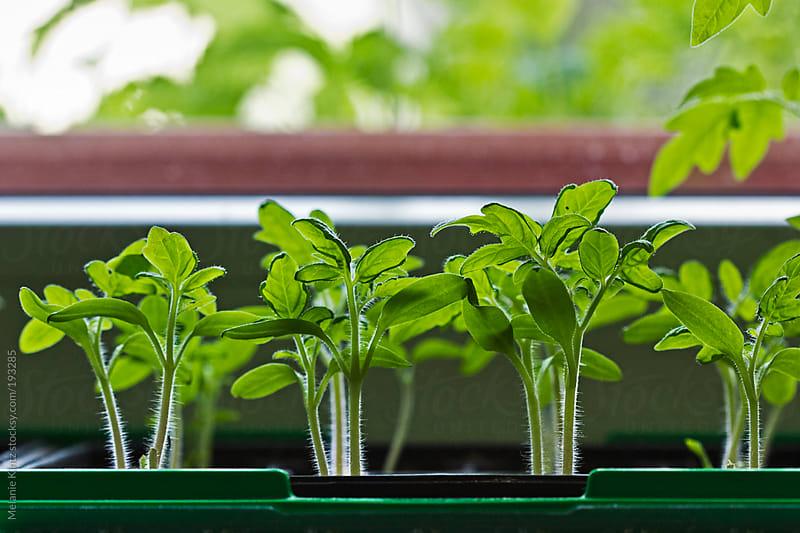 Tomato plants grow on a windowsill by Melanie Kintz for Stocksy United