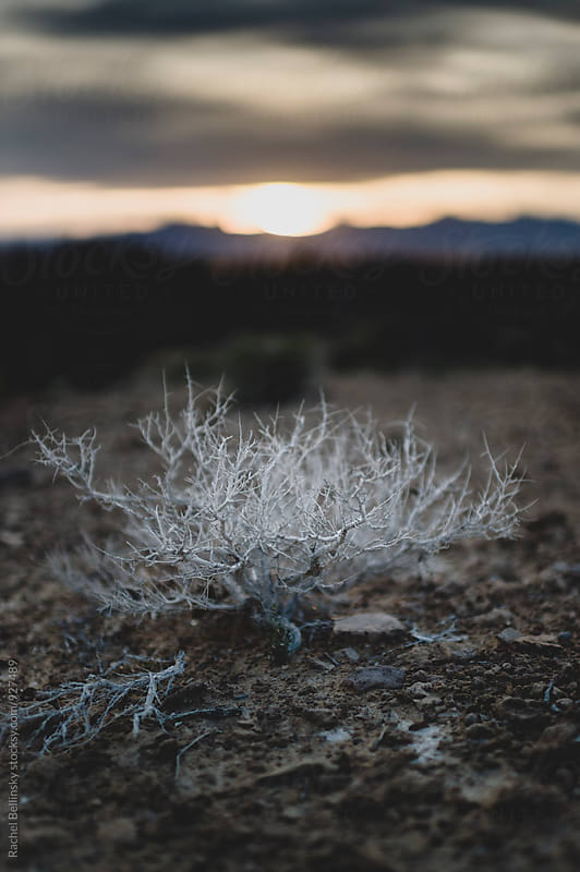 A white desert weed at sunset in Death Valley by Rachel Bellinsky for Stocksy United