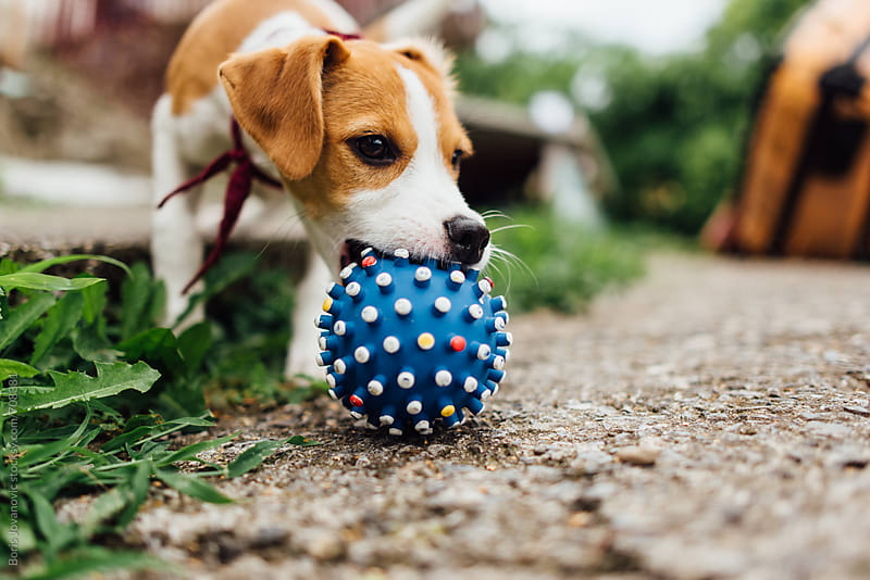Young dog playing with ball  by Boris Jovanovic for Stocksy United