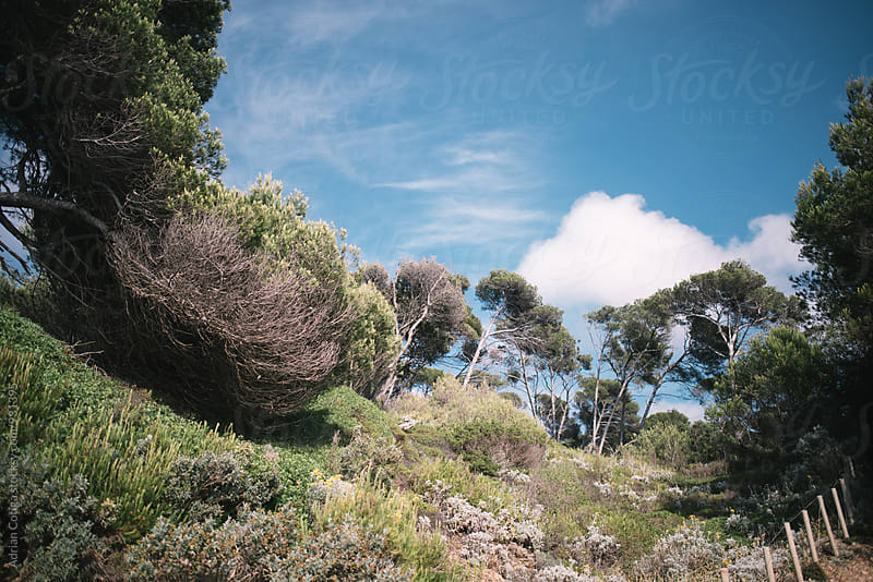 Porquerolles island in south of France, Exotic trees over the blue sky  by Adrian Cotiga for Stocksy United