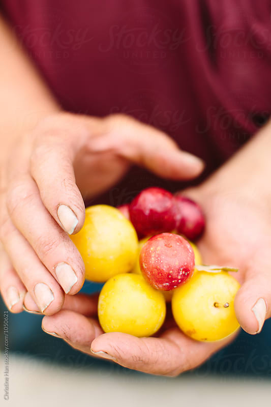 plums in the hands of a farmer by Christine Han for Stocksy United