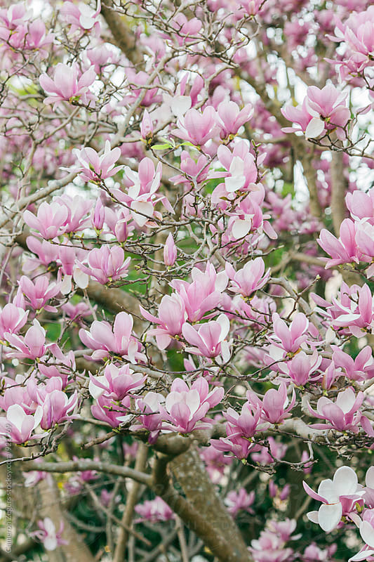 magnolia tree in spring by Cameron Zegers for Stocksy United