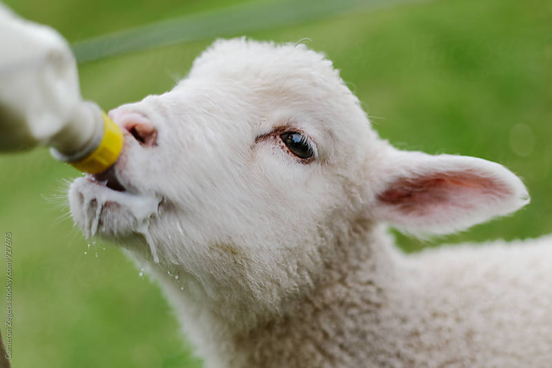 lamb drinking from bottle by Cameron Zegers for Stocksy United